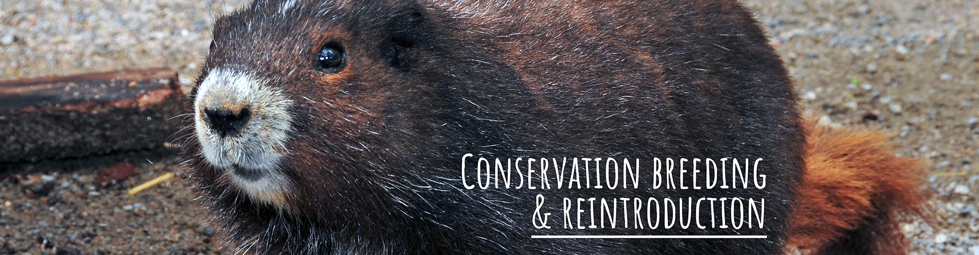 Conservation Breeding and Reintroduction - PCT