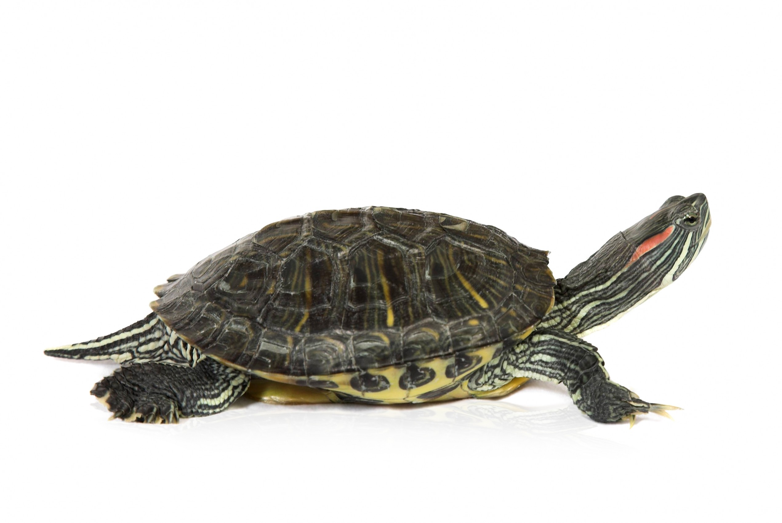 red eared slider turtle Red eared slider 21,360 likes 43,335 talking about this aquatic turtle community, care info, tips and tricks, health and food, habitat and happiness.
