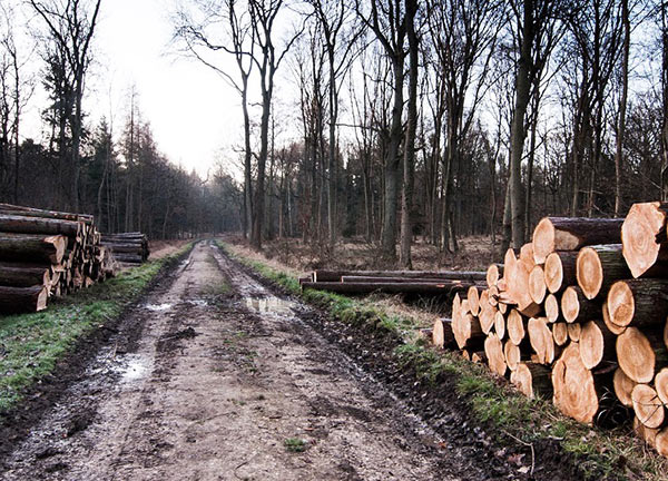 Trees cut down by logging road