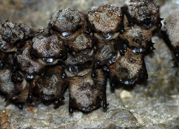 Bats hanging from cave ceiling exhibiting symptoms of White Nose syndrome