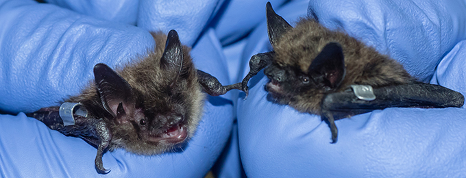 Two bats being held by Toronto Zoo staff