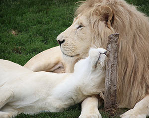 Lions Fintan and Makali snuggling together