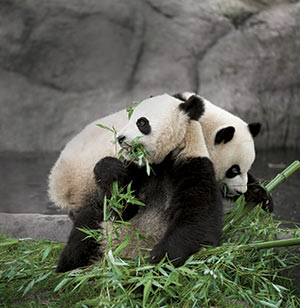 Panda cubs playing
