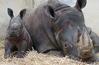 Indian Rhino Mom with her calf