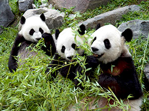 Three Pandas together at the Toronto Zoo