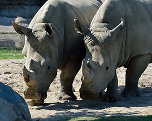 White Rhinos standing together