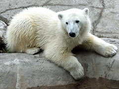 Polar Bear Humphrey - Photo Credit Ken Ardill