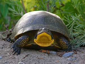 Toronto zoo blandings turtle zoo diet publicscrutiny Choice Image