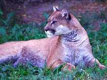 Cougar toronto