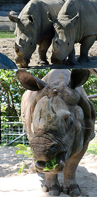 African and Indian Rhino at the Zoo