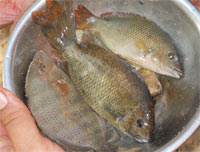 Three species of Paretroplus found for the first time in one lake.