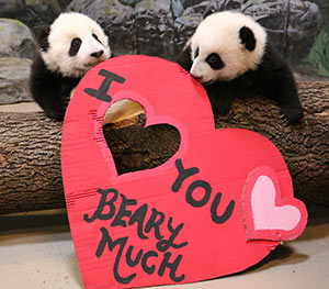 Panda cubs with big heart toy