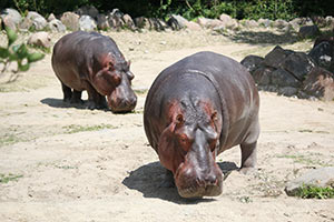 Hippos grazing at the Zoo