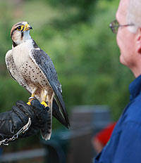 Senior admiring falcon held by Toronto Zoo keeper
