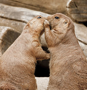 Two marmots embracing