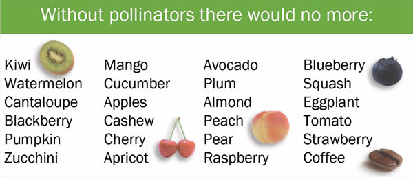 Without pollinators, there would be no more: Kiwi Mango Avacado Blueberry Watermelon Cucumer Plum Squash Canteloupe Apples Almond Eggplant Blackberry Cashew Peach Tomato Pumpkin Cherry ear Strawberry Zucchini Apricot Raspberry Coffee